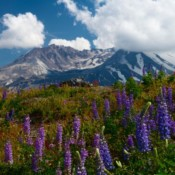 From Lupines to Life